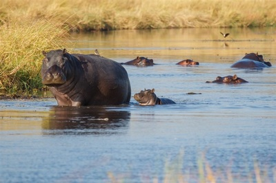 Hippo pod at Khwai River Lodge, Botswana