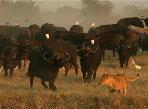 Buffalo herd and lioness, Okavango, Botswana