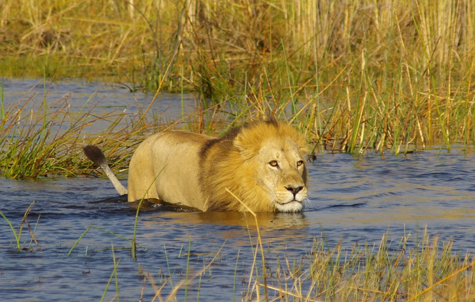Lion wading in the waters of the Okavango, Botswana